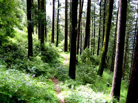 forest-walk-dalhousie