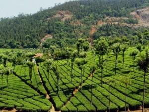 coonoor tea gardens